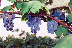 Concord Grape (Vitis 'Concord') at Brenda's Blumenladen