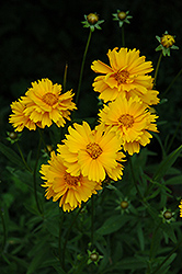 Early Sunrise Tickseed (Coreopsis 'Early Sunrise') at Brenda's Blumenladen