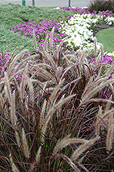 Purple Fountain Grass (Pennisetum setaceum 'Rubrum') at Brenda's Blumenladen