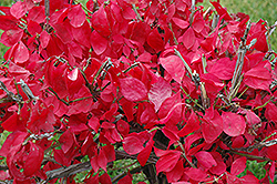 Compact Winged Burning Bush (Euonymus alatus 'Compactus') at Brenda's Blumenladen