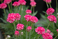 Bloodstone Sea Thrift (Armeria maritima 'Bloodstone') at Brenda's Blumenladen