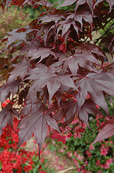 Bloodgood Japanese Maple (Acer palmatum 'Bloodgood') at Brenda's Blumenladen