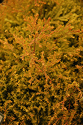 Fire Chief™ Arborvitae (Thuja occidentalis 'Congabe') at Brenda's Blumenladen
