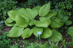 Sum and Substance Hosta (Hosta 'Sum and Substance') at Brenda's Blumenladen