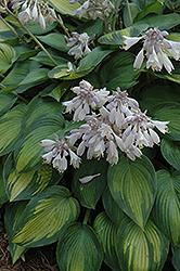 June Hosta (Hosta 'June') at Brenda's Blumenladen