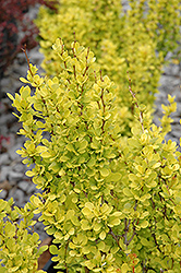 Sunjoy Gold Pillar® Japanese Barberry (Berberis thunbergii 'Maria') at Brenda's Blumenladen