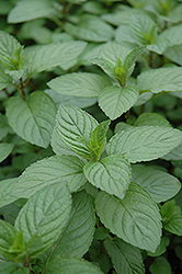 Chocolate Mint (Mentha x piperita 'Chocolate') at Brenda's Blumenladen