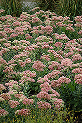 Autumn Joy Stonecrop (Sedum 'Autumn Joy') at Brenda's Blumenladen