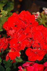 Americana® Red Geranium (Pelargonium 'Americana Red') at Brenda's Blumenladen