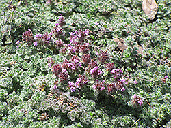 Wooly Thyme (Thymus pseudolanuginosis) at Brenda's Blumenladen