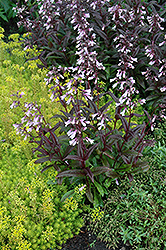 Dark Towers Beard Tongue (Penstemon 'Dark Towers') at Brenda's Blumenladen