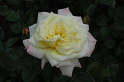 Music Box Rose (Rosa 'BAIbox') at Brenda's Blumenladen