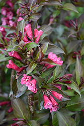 Shining Sensation™ Weigela (Weigela florida 'Bokrashine') at Brenda's Blumenladen