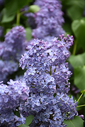 Blue Skies Lilac (Syringa vulgaris 'Blue Skies') at Brenda's Blumenladen