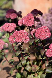 Desert Red Stonecrop (Sedum 'Desert Red') at Brenda's Blumenladen