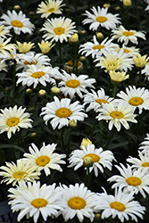 Banana Cream Shasta Daisy (Leucanthemum x superbum 'Banana Cream') at Brenda's Blumenladen